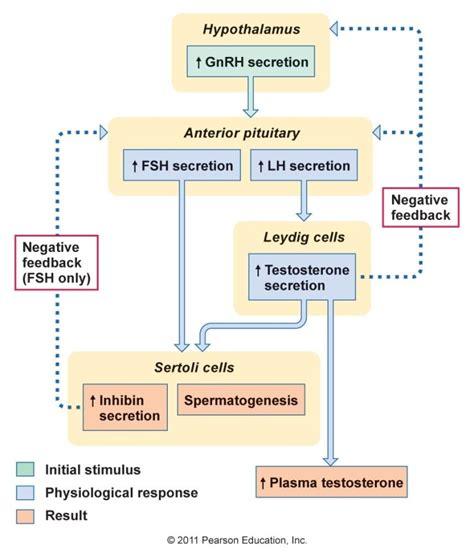 호르몬의 원리와 비밀(근육, 탈모, 여드름, 트랜스젠더, 인터