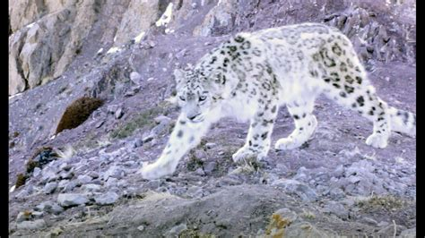 Elusive Snow Leopard Of The Himalayas   Planet Earth II