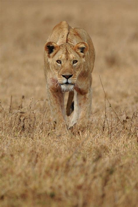 Stalking lioness - Getaway Magazine | Female lion, Lions