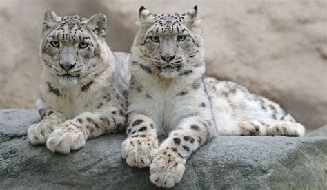 Himachal Pradesh Sees Rise In Snow Leopard Population As
