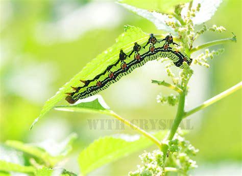 크리스탈과 함께 :: 괴벌레로 알려졌던 암청색줄무늬밤나방 유충