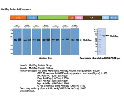 MultiTag Protein Multiple Epitope Tagging Loading Control