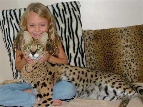 Ocelot Kitten Surprises the Girl, Dwarf Leopard - YouTube