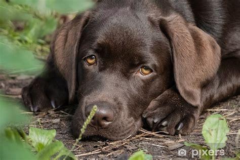 Sticker Leuke eenzame bruine labrador puppy • Pixers® - We