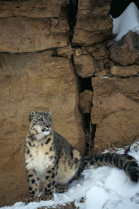 7 magnificent pictures of endangered snow leopards in