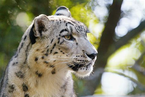 Little Girl the Snow Leopard Will be Missed at Potter Park Zoo